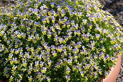 Hip Hop Bluebunny Pansy (Viola 'Hip Hop Bluebunny') at Roger's Gardens