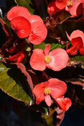 Big Red Bronze Leaf Begonia (Begonia 'Big Red Bronze Leaf') at Roger's Gardens
