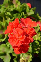 Calliope Large Classic Grand Prix Geranium (Pelargonium 'Calliope Large Classic Grand Prix') at Roger's Gardens