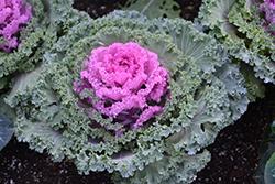 Nagoya Red Ornamental Kale (Brassica oleracea var. acephala 'Nagoya Red') at Roger's Gardens