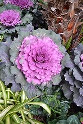 Osaka Red Ornamental Cabbage (Brassica oleracea 'Osaka Red') at Roger's Gardens