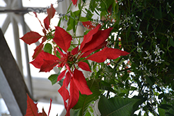 St. Louis Red Garden Poinsettia (Euphorbia pulcherrima 'St. Louis Red') at Roger's Gardens