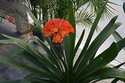 Bush Lily (Clivia x miniata) at Roger's Gardens
