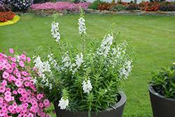 Angelface Super White Angelonia (Angelonia angustifolia 'Angelface Super White') at Roger's Gardens
