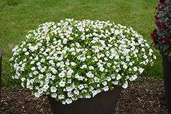 Superbells White Calibrachoa (Calibrachoa 'Balcal14141') at Roger's Gardens