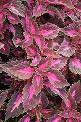 ColorBlaze Velveteen Coleus (Solenostemon scutellarioides 'Velveteen') at Roger's Gardens