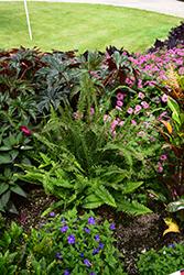 Kimberly Queen Australian Sword Fern (Nephrolepis obliterata 'Kimberly Queen') at Roger's Gardens