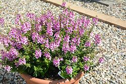 Alonia Pink Flirt Angelonia (Angelonia angustifolia 'Alonia Pink Flirt') at Roger's Gardens
