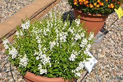 Alonia Snowball Angelonia (Angelonia angustifolia 'Alonia Snowball') at Roger's Gardens