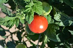 Little Sicily Tomato (Solanum lycopersicum 'Little Sicily') at Roger's Gardens