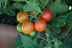 Little Bing Tomato (Solanum lycopersicum 'Little Bing') at Roger's Gardens