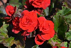 Solenia Red Orange Begonia (Begonia x hiemalis 'Solenia Red Orange') at Roger's Gardens