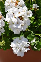 Calliope White Geranium (Pelargonium 'Calliope White') at Roger's Gardens