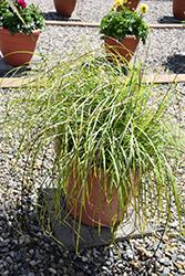 Little Miss Maiden Grass (Miscanthus sinensis 'Little Miss') at Roger's Gardens