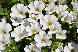 Cabaret White Calibrachoa (Calibrachoa 'Balcabwhite') at Roger's Gardens