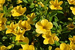 Cabaret Deep Yellow Calibrachoa (Calibrachoa 'Balcabdepy') at Roger's Gardens