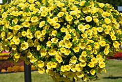 Aloha Canary Yellow Calibrachoa (Calibrachoa 'Aloha Canary Yellow') at Roger's Gardens