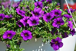 Aloha Kona Dark Lavender Calibrachoa (Calibrachoa 'Aloha Kona Dark Lavender') at Roger's Gardens