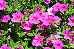 Aloha Nani Pink Calibrachoa (Calibrachoa 'Aloha Nani Pink') at Roger's Gardens