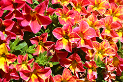 Aloha Nani Red Cartwheel Calibrachoa (Calibrachoa 'Aloha Nani Red Cartwheel') at Roger's Gardens