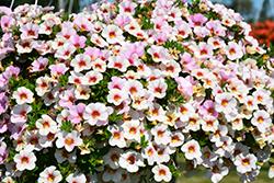 Aloha Kona Royal White Calibrachoa (Calibrachoa 'Aloha Kona Royal White') at Roger's Gardens