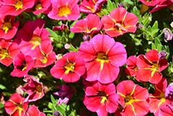 Aloha Cherry Cartwheel Calibrachoa (Calibrachoa 'Aloha Cherry Cartwheel') at Roger's Gardens