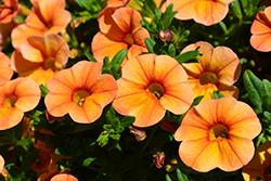 Aloha Kona Mango Calibrachoa (Calibrachoa 'Aloha Kona Mango') at Roger's Gardens