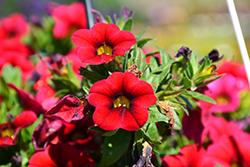 Aloha Nani Dark Red Calibrachoa (Calibrachoa 'Aloha Nani Dark Red') at Roger's Gardens
