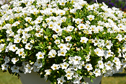 Aloha Nani White Calibrachoa (Calibrachoa 'Aloha Nani White') at Roger's Gardens
