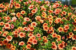 Aloha Tiki Orange Calibrachoa (Calibrachoa 'Aloha Tiki Orange') at Roger's Gardens
