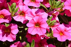 Aloha Kona Hot Pink Calibrachoa (Calibrachoa 'Aloha Kona Hot Pink') at Roger's Gardens