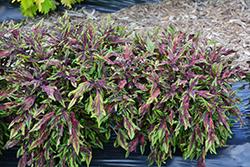FlameThrower Chili Pepper Coleus (Solenostemon scutellarioides 'Chili Pepper') at Roger's Gardens