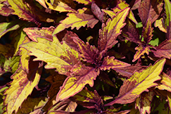 FlameThrower Spiced Curry Coleus (Solenostemon scutellarioides 'Spiced Curry') at Roger's Gardens
