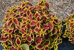 Premium Sun Crimson Gold Coleus (Solenostemon scutellarioides 'Crimson Gold') at Roger's Gardens