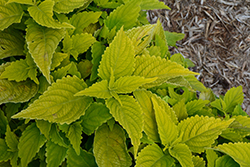 ColorBlaze Lime Time Coleus (Solenostemon scutellarioides 'Lime Time') at Roger's Gardens