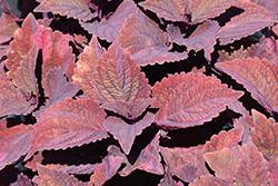 ColorBlaze Marooned Coleus (Solenostemon scutellarioides 'Marooned') at Roger's Gardens