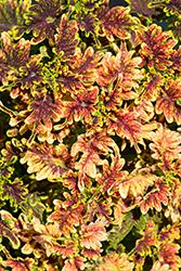Under The Sea Copper Coral Coleus (Solenostemon scutellarioides 'Copper Coral') at Roger's Gardens