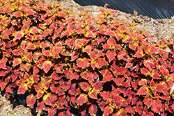 Color Clouds Be Mine Coleus (Solenostemon scutellarioides 'Be Mine') at Roger's Gardens