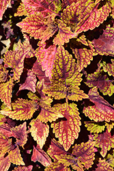 Color Clouds Spicy Coleus (Solenostemon scutellarioides 'Spicy') at Roger's Gardens