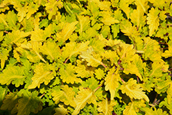 Cool Vibes Mellow (Solenostemon scutellarioides 'Mellow') at Roger's Gardens