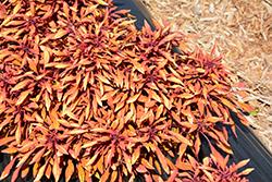 Fancy Feathers Copper Coleus (Solenostemon scutellarioides 'Fancy Feathers Copper') at Roger's Gardens