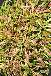 Fancy Feathers Pink Coleus (Solenostemon scutellarioides 'Fancy Feathers Pink') at Roger's Gardens