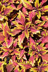 Terra Nova Allspice Coleus (Solenostemon scutellarioides 'Allspice') at Roger's Gardens