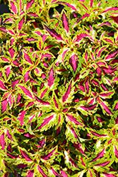Terra Nova Jitters Coleus (Solenostemon scutellarioides 'Jitters') at Roger's Gardens