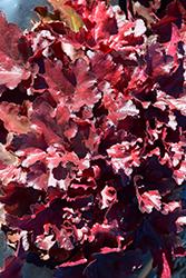 Forever Red Coral Bells (Heuchera 'Forever Red') at Roger's Gardens