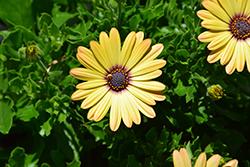 Akila Yellow African Daisy (Osteospermum ecklonis 'Akila Yellow') at Roger's Gardens