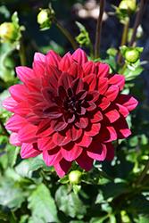 XXL Taxco Dahlia (Dahlia 'XXL Taxco') at Roger's Gardens