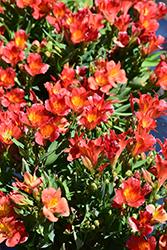 Colorita Amina Alstroemeria (Alstroemeria 'Zapriamin') at Roger's Gardens