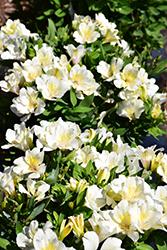 Colorita Claire Alstroemeria (Alstroemeria 'Zapriclair') at Roger's Gardens