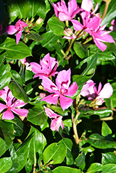 Soiree Kawaii Double Pink Vinca (Catharanthus roseus 'Soiree Kawaii Double Pink') at Roger's Gardens